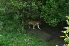 老虎在树下 图库摄影