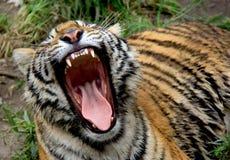 老虎在泰国 库存图片