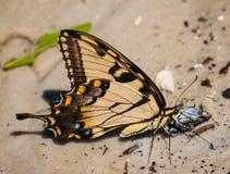 老虎在海滩的Swallowtail蝴蝶 库存图片
