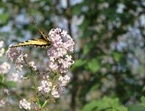 老虎在淡紫色绽放的Swallowtail蝴蝶 库存图片