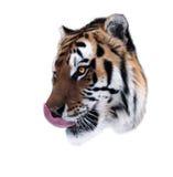 老虎在白色面对舔自己隔绝了 库存图片