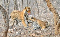 老虎在联接以后 免版税图库摄影
