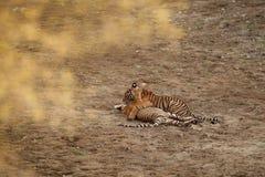 老虎在自然栖所 孟加拉老虎当幼童军使用和战斗为优势 库存图片