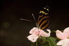 老虎在花的被串起的蝴蝶 免版税库存图片