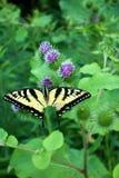 老虎在蓟的Swallowtail蝴蝶 免版税库存照片