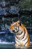 老虎在水中 免版税库存照片