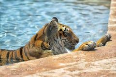 老虎在水中 库存照片