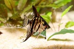 老虎大理石神仙鱼pterophyllum scalare水族馆鱼 免版税库存图片