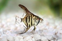 老虎大理石神仙鱼pterophyllum scalare水族馆鱼 库存图片