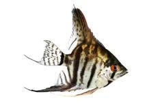 老虎大理石神仙鱼pterophyllum scalare水族馆鱼 免版税图库摄影