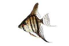老虎大理石神仙鱼pterophyllum scalare水族馆鱼 免版税库存照片