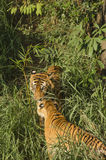 老虎夫妇在密林 免版税库存照片