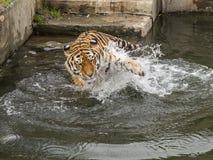 老虎戏剧在水中 免版税库存图片