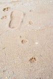 老虎或在泥的偷偷地走步 免版税库存图片
