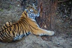 老虎拥抱一棵树 免版税库存图片