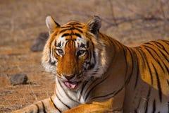 老虎星男性,豹属底格里斯河, Ranthambhore老虎储备,拉贾斯坦 免版税库存图片