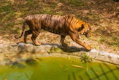 老虎是密林的国王 老虎在forestTiger寻找在动物园里 免版税库存照片