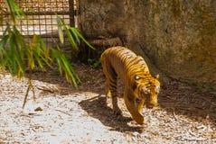 老虎是密林的国王 老虎在forestTiger寻找在动物园里 库存照片