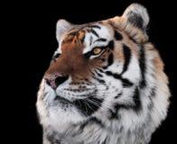 老虎朝向与在黑色隔绝的明亮的眼睛特写镜头 免版税库存图片