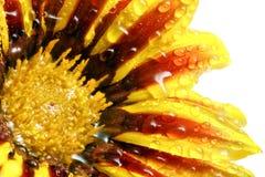 老虎杂色菊属植物唯一花与下落的。(Splendens类aste 免版税库存照片