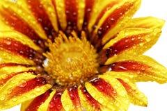 老虎杂色菊属植物唯一花与下落的。(Splendens类aste 免版税库存图片