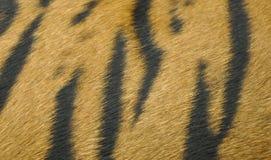老虎毛皮 库存图片