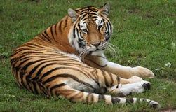老虎注意 库存图片
