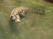 老虎游泳 库存图片