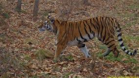 老虎狩猎在森林里 免版税库存照片