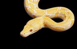 老虎白变种在黑色的Python蛇 库存照片