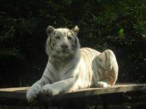 老虎白变种 库存照片