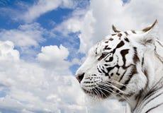 老虎白色 图库摄影