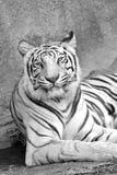老虎白色 库存照片