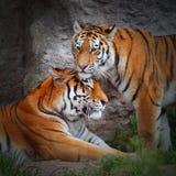 老虎的爱。 库存照片