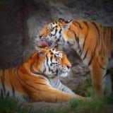 老虎的爱。 免版税库存照片