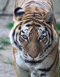 老虎的眼睛 免版税库存图片