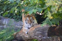 老虎的神色 免版税库存照片
