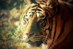老虎的葡萄酒画象 免版税图库摄影