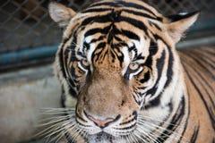 老虎的面孔 库存照片