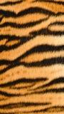 老虎皮肤 免版税图库摄影