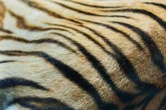 老虎皮肤 免版税库存照片
