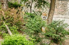 老虎看坐在草丛的您在动物园在基辅 图库摄影