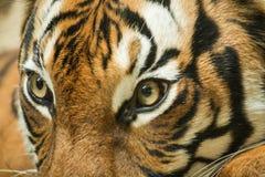 老虎眼睛, 免版税库存照片