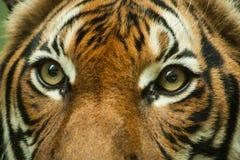 老虎眼睛, 免版税库存图片