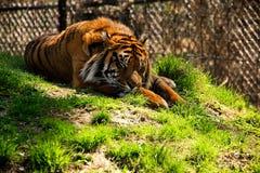 老虎睡觉 库存照片