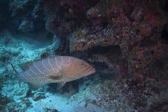 老虎石斑鱼-大开曼 库存照片