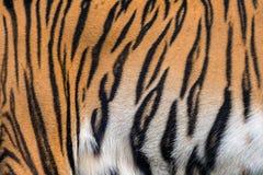老虎纹理和皮肤  免版税库存图片