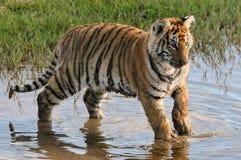 老虎获得乐趣在水中 免版税库存图片