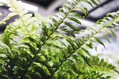 老虎蕨植物装饰在办公室 免版税库存图片