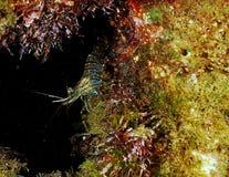 老虎虾 库存图片